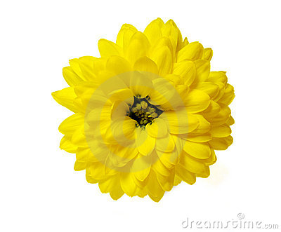 Yellow chrysanthemum flower isolated on white