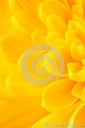 Free Yellow Chrysanthemum Flower Petals Royalty Free Stock Photo - 62351795