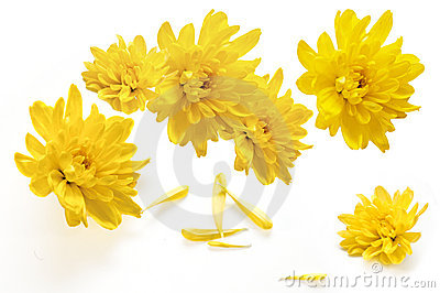 Yellow chrysanthemum flowers on a white background