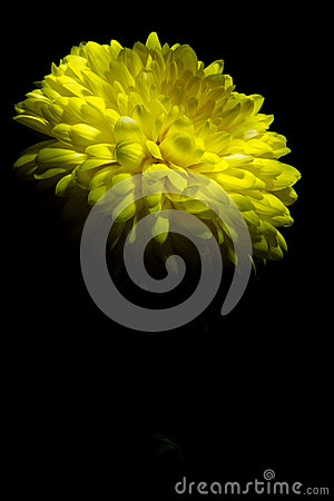 Free Yellow Chrysanthemum On A Black Background Stock Images - 38757634