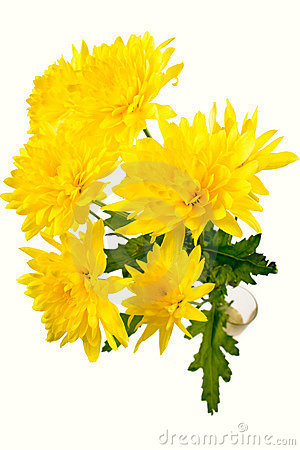 Yellow chrysanthemum on white