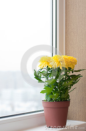 Free Yellow Chrysanthemums On Window Sill Stock Image - 27466281
