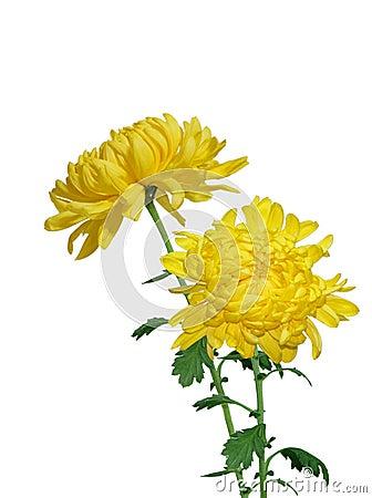 Free Yellow Chrysanthermum Royalty Free Stock Photos - 7915248