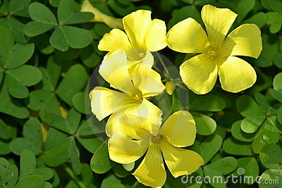 Yellow clover flowers