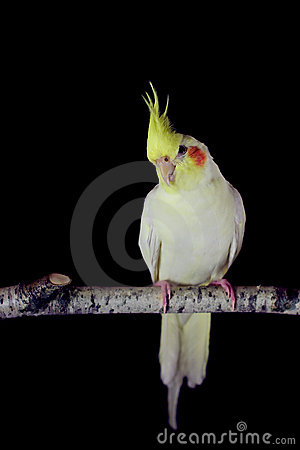 Yellow cockatiel on birch twing in black