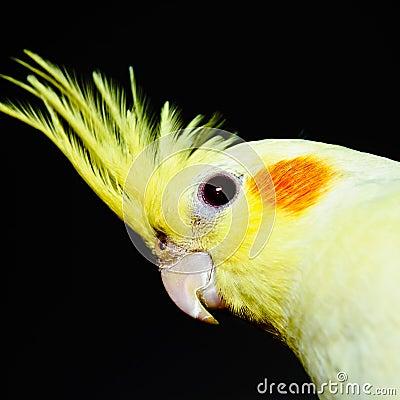 Free Yellow Cockatiel Head Across Stock Photos - 25867533