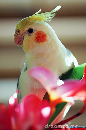 Free Yellow Cockatiel, Parrot Stock Images - 1239834
