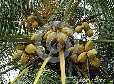 Yellow coconut tree