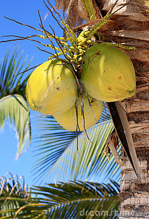 Yellow coconuts on palm