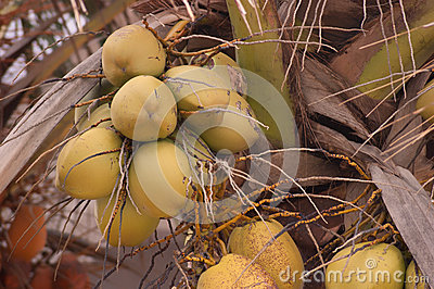 Yellow coconuts on palm tree