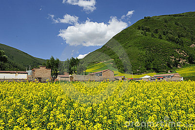 Yellow cole flowers and mountains