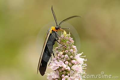 Yellow-collared Scape Moth (Cisseps fulvicollis)