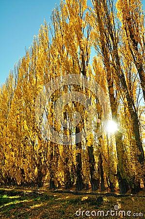 Yellow colored autumn aspen line