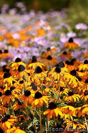 Yellow Cone Flowers in a Field