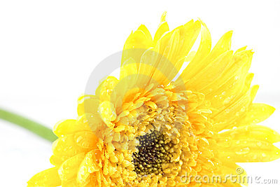 Yellow coreopsis with water drop