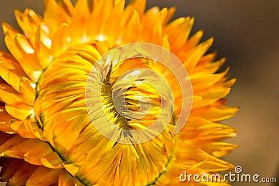 Yellow corolla