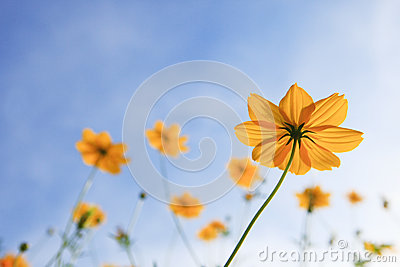 Yellow cosm flower and blue sky