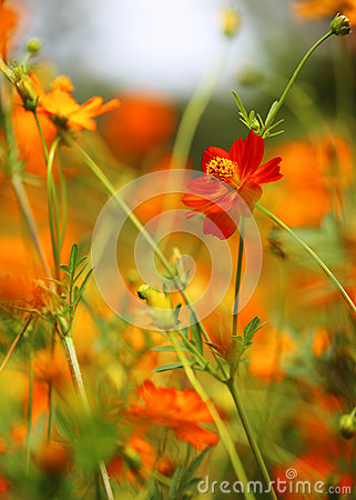 Free Yellow Cosmos Flower Stock Photo - 52425420
