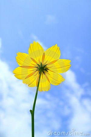 Yellow Cosmos flower on blue sky