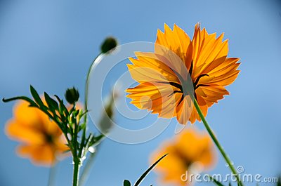 Yellow cosmos flowers against blue sky.