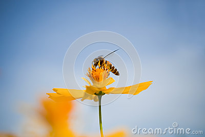 Yellow cosmos flowers and honey bee
