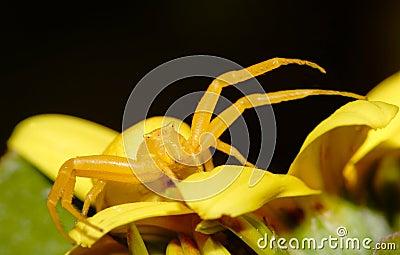 Yellow crab spider Thomisus onustus closeup