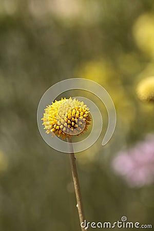 Free Yellow Craspedia Billy Balls Flower Royalty Free Stock Images - 89783919