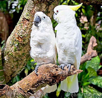 Yellow-crested white Cockatoo Parrot in nature