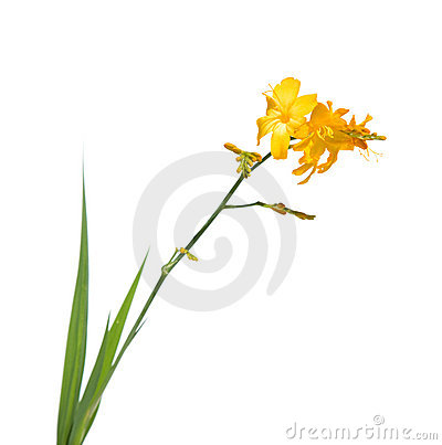 Yellow crocosmia (montbretia)