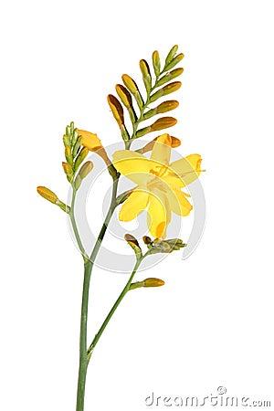 Free Yellow Crocosmia (Montbretia), Stock Photography - 2941432