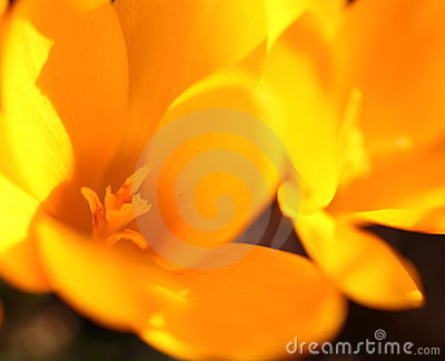 Yellow crocus flowers closeup
