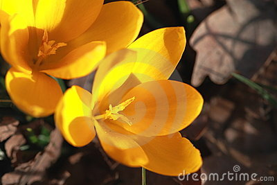 Yellow crocuses on brown background