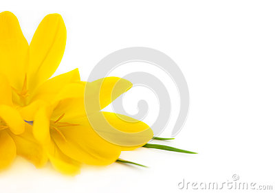 Yellow Crocus / Spring flowers