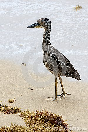 Yellow-crowed Night Heron, Nyctanassa violacea cayennensis