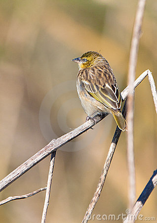 Yellow-crowned Bishop resting on a twig