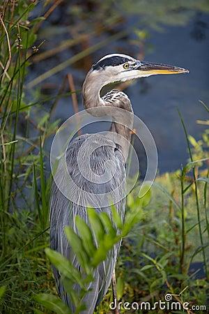 Free Yellow-Crowned Night Heron Stock Image - 59841821