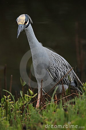 Yellow-crowned Night Heron Stalking its Prey