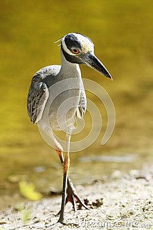 Yellow-crowned Night Heron Stalking its Prey