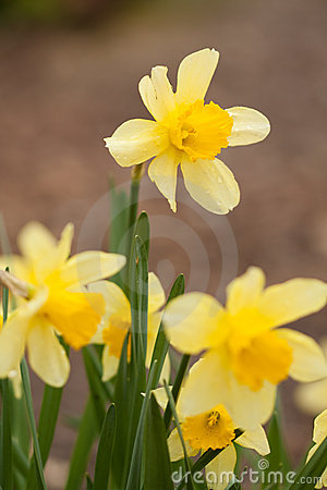 Free Yellow Daffodil Stock Photo - 16038930