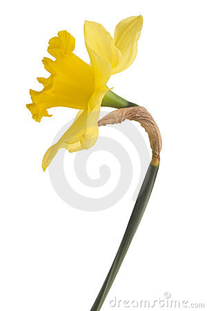 Free Yellow Daffodil Stock Images - 7719704