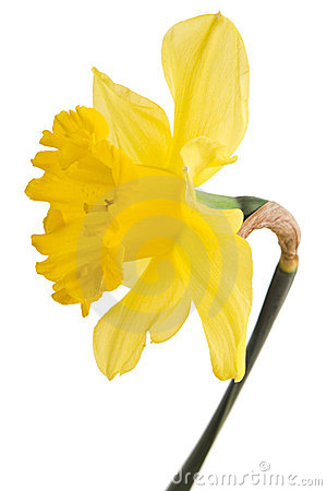 Free Yellow Daffodil Flower Stock Photography - 11503552