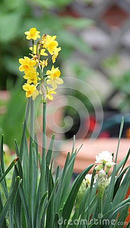 Free Yellow Daffodil Flowers Royalty Free Stock Photography - 31860797