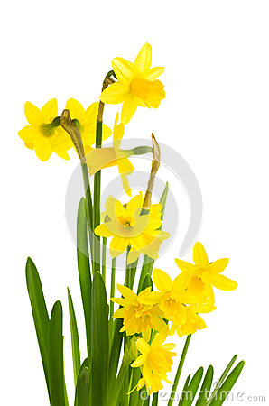 Free Yellow Daffodil Flowers In Full Bloom Royalty Free Stock Photos - 29429898