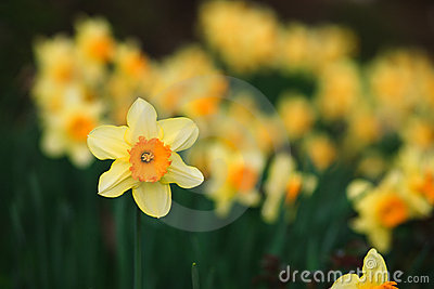 Yellow Daffodil on green background