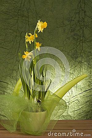 Yellow daffodil in a pot
