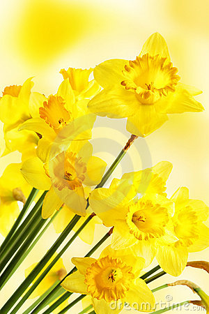 Free Yellow Daffodils Royalty Free Stock Photos - 19104158