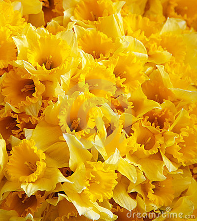 Free Yellow Daffodils Background Stock Photo - 4941810