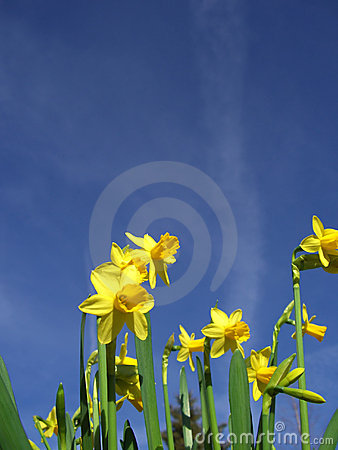 Yellow Daffodils and blue sky