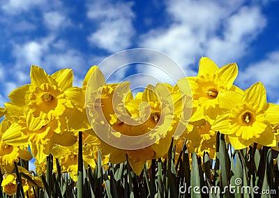 Yellow daffodils and sky