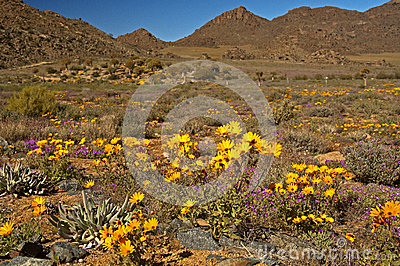 Yellow daisies in Namaqualand